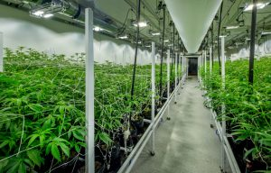 Indoor nursery for the cultivation of medical marijuana, complete with specially designed lighting and HVAC systems.